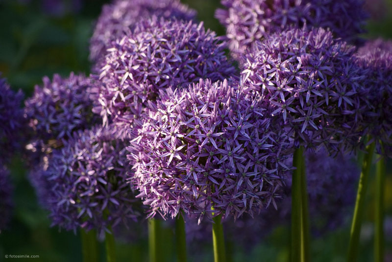 Purple Profusion